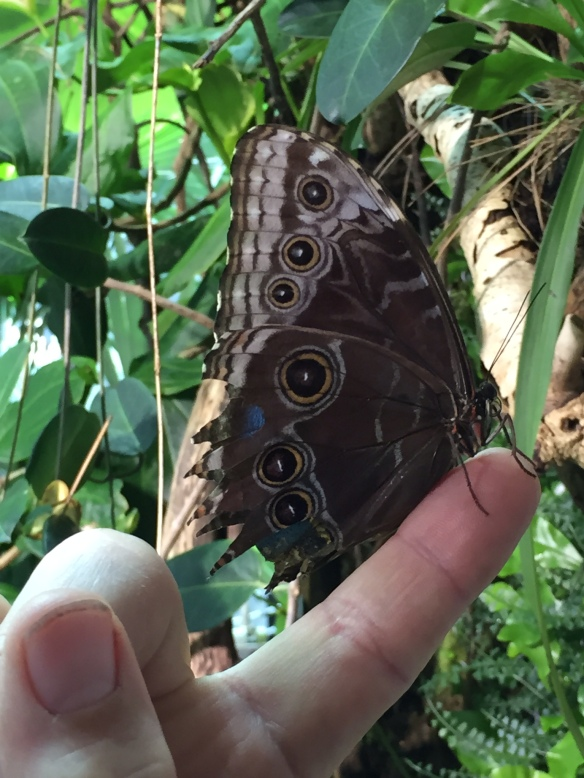 This travel-worn blue morpho looks like he needs a rest...