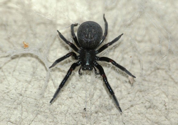 house-spiders-13