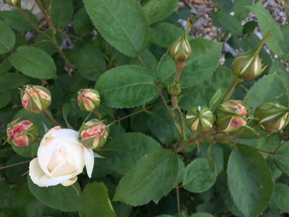 The newest rose bushes about  to burst, white roses that erupt from pink buds