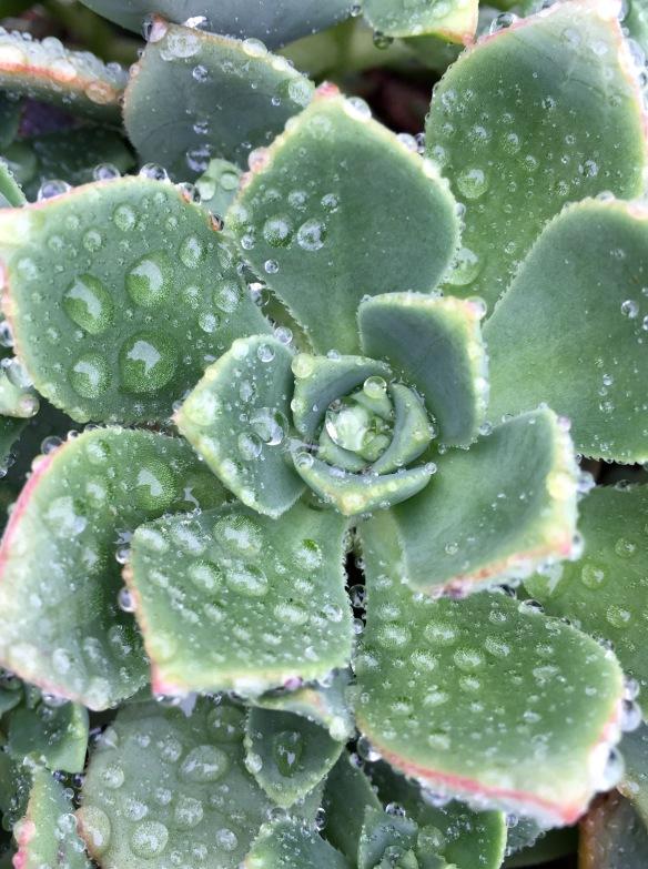 wet succulent